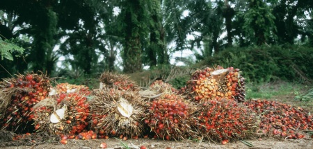 Harvested oil palm fruit bunches.jpg